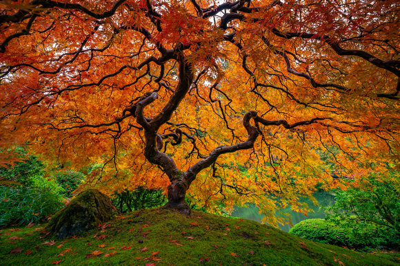 Japanese Maple in Fall